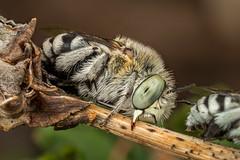 Not so grumpy (affectatio) Tags: blue macro bug insect bee sleepingbee mpe65 focusstack nativebee zerene bluebandedbee australiannativebee