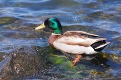 Mallard (Tatyana2016) Tags: blue reflection green bird nature water birds rock nikon shine birding mallard transparent dslr