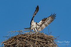 Osprey returns from Home Depot sequence - 14 of 27
