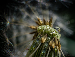 Searching for Beauty 2 of 2 (Don White (Burnaby) Thanks for the Three Million V) Tags: macro bokeh centralpark dandelion seeds extensiontube flowersplants misted 26mm sigma30mmf28