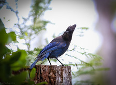Whachoolookinat??!! - Redux (Patstirling) Tags: world ocean wood trip travel blue trees light white green bird water leaves vancouver forest island daylight surf honeymoon jay bright bokeh columbia stump tofino wife british stellersjay fav10 400mmf56l canon70d