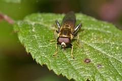 Xylota segnis (Linnaeus, 1758). Macho (Jess Tizn Taracido) Tags: syrphidae diptera eristalinae xylotasegnis cyclorrapha