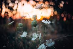 Summer (katarri) Tags: flowers sunset summer orange plants sun white plant hot nature floral grass dark 50mm gold golden evening nikon warm bokeh meadow poland sunny d750 nikkor naturephotography bokehlicious vsco nikond750