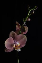Phalaenopsis April 2016-3673 web (photognut) Tags: flower phalaenopsis indoors gel strobe cto offcameraflash