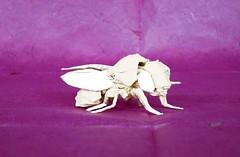 Fruit Fly (Drosophila melanogaster) (folding~well) Tags: fruit paper fly origami folding fruitfly drosophila