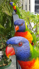 Friendly Lorikeet Family (nzboyinoz) Tags: birds mobile phone native samsung australia explore queensland mermaid lorikeets s6 justinv