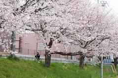 Along tree line (Wunkai) Tags: bike japan  cherryblossom sakura   ibarakiken 1chome 1  sakuragawashi