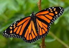 Bedazzled  DSC_0946 (blthornburgh) Tags: orange nature beautiful closeup butterfly garden tampa insect outdoors backyard colorful close monarch orangebutterfly flyinginsect milkweedbutterfly monarchdanausplexippus thornburgh
