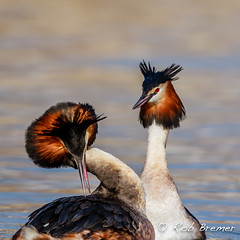 Red Crested Grebe / Futen baltsend-0427 (rob.bremer) Tags: bird nature water birds animal outdoor wildlife dunes natuur waterbird aves duinen castricum kennemerduinen courtship podicepscristatus duinlandschap watervogel balts noordhollandsduinreservaat courtshipbehavior baltsgedrag redcrestedgrebe