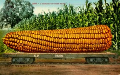A Carload of Corn (Alan Mays) Tags: sanfrancisco california ca old vintage giant paper corn funny humorous comic antique humor ears trains calif ephemera fantasy sp mammoth postcards huge cornstalks grains mitchell oversized printed maize exaggerations railroads 1900s 1909 southernpacific corncobs railroadcars cobs talltales southernpacificrailroad 79295 edwardhmitchell postcardpublishers talltalepostcards carloads