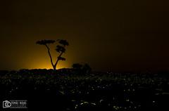 Fireflies (tomasrojasfoto) Tags: trip sky tree green silhouette night landscape noche venezuela paisaje cielo firefly fireflies luciernagas