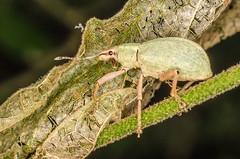 Curculionidae sp. (Leonel Baldoni) Tags: beatle escarabajo gorgojo
