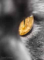 Cat eye (Blochmntig) Tags: eye love feline katze augen gatto kater britishshorthair cateye yelloweye bkh katzenaugen animaleye