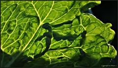 Salatblatt * Leaf of lettuce * Hoja de lechuga * .  DSC_0658-003 (maya.walti HK) Tags: light espaa luz licht spain flickr lettuce salat lightandshadow spanien ensalada lechuga lighteffects 2012 iceberglettuce lichtundschatten lichteffekte eisbergsalat luzysombra lettuceleaf salatblatt efectosdeluz lechugaiceberg nikond3000 leafoflettuce 230416 copyrightbymayawaltihk hojadelechuga