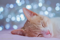 (Victoria Helson photography) Tags: world pink blue color cute animal rose cat jaune canon wonderful photo chat dof sweet bokeh sleep pastel dream kitty victoria bleu 7d kitties animaux douce couleur douceur rve domestique helson animaladdiction