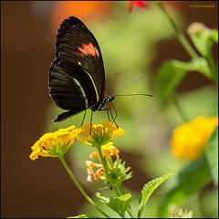 (2274) Papallona (QuimG) Tags: flowers naturaleza macro nature natura panasonic papallona specialtouch quimg quimgranell joaquimgranell afcastell obresdart