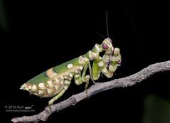 Theopropus elegans_MG_0933 copy (Kurt (OrionHerpAdventure.com)) Tags: mantis mantid theopropuselegans bandedflowermantis mantidsofmalaysia