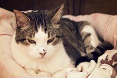 Sleepy Boy (Captured by AMK) Tags: cats pets cat feline felines petphotography