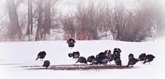 Wild Turkeys In Fog & Snow (Chamblin1) Tags: snow fog spring country wildturkeys