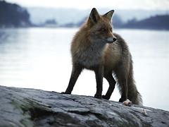 Alert (Pivi ) Tags: fish oslo norway scenery fox april