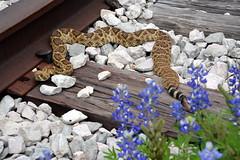 Western Diamondback Rattlesnake (The Old Texan) Tags: nikon texas snake bluebonnets d7100