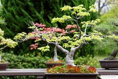 20160413-40-Bonsai at Kyoto Botanic Gardens (Roger T Wong) Tags: travel trees holiday japan kyoto bonsai botanicgardens 2016 canonef70200mmf4lisusm canon70200f4lis canoneos6d rogettwong