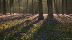 Wepham Woods (Sue MacCallum-Stewart) Tags: flowers blue trees nature bluebells woodland landscape spring wildflowers firstlight wephamwoods