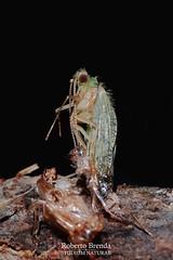 Rhyacophila (Roberto PE) Tags: sedge caddis trichoptera rhyacophilidae rhyacophila