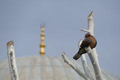 Dove (mollsie) Tags: bird istanbul pollard firuzagamosque