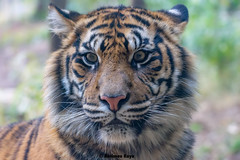 Damai   - It's Awfully Different Without You (Harimau Kayu (AKA Sumatra-Tiger)) Tags: usa animal japan gardens sisters cat asian zoo cub dc washington feline peace tiger dream daughters dell camouflage beast nationalzoo soy yokohama tijger carnivorous tigris tigre tigerstripes thunder bigcats damai sumatran carnivore soyono zoological  predetor zoorasia mimpi guntur flesheating sumatratiger tygr tiikeri thetemptation  pantheratigrissumatrae sumatraansetijger asiancat sumatrantigercub tigredesumatra gunchan  thesmithsoniannationalzoologicalpark harimausumatera sumatrakaplan tygrsumatersk tygryssumatrzaski  szumtraitigris       hsumatra guntursdaughters