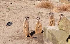 Edinburgh zoo (PhylB) Tags: meerkats edinburghzoo