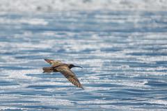Cruising Altitude (Envios) Tags: bird birds flying flight soaring stinsonbeach soar whimbrelbird