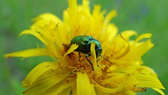 Y a un bug (GCau) Tags: france flower green nature fleur yellow jaune bug insect vert provence insecte gecau