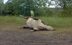 Get Well Soon (MyBiggestFan) Tags: dead liberty cow texas random balloon houston livestock carcass bloated feufollet