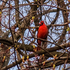 Cardinal_14326 (smack53) Tags: bird animal canon outside outdoors newjersey spring cardinal wildlife branches powershot springtime g12 wingedcreature westmilford canonpowershotg12 smack53
