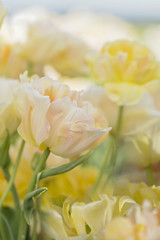 Golden Dream (Synapped) Tags: orange flower woodland shoe gold golden wooden washington spring farm tulip second angelique
