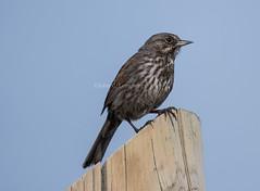 Song Sparrow (Melospiza melodia) (mesquakie8) Tags: bird alaska landsend sparrow homer songsparrow melospizamelodia 2325 sosp sittingatopapierpost verydarkincolor kanaepeninsula