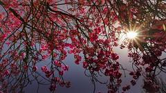 Rayon de soleil (Yasmine Hens) Tags: blue red sun flower fleur rouge soleil europa flickr belgium ngc bleu rayon parc namur hens yasmine wallonie rayondesoleil iamflickr flickrunitedaward hensyasmine