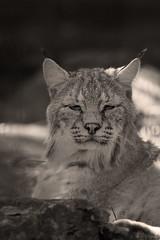Bobcat portrait (Cloudtail the Snow Leopard) Tags: berlin animal cat mammal feline rufus katze bobcat tierpark lynx tier luchs sugetier rotluchs