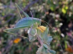 Dichopetala (carlos mancilla) Tags: insectos grasshoppers saltamontes chapulines dichopetala olympussp570uz shortwingkatydids