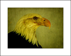 Eagle 2 (MEaves) Tags: bird nature eagle raptor predator toned avian textured