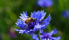 working the blues (aokcreation) Tags: blue field cornflowers