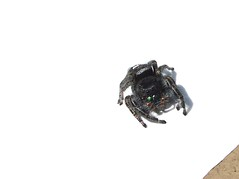 Jumping spider my backyard 4-25-2016 (Carl Kitzke) Tags: weird spiders freaky photograpy jumpingspiders