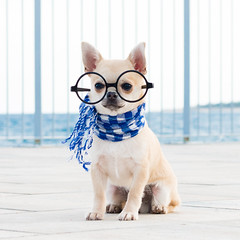 Chihuahua Paquiho (StoryofLove Chihuahuas) Tags: blue sea dog pet pets chihuahua cute love beach dogs water animal animals puppy glasses cool handsome perro chihuahuas cachorro lovely puppi doggie perrito dulce puppie dogie pupie cahorrito