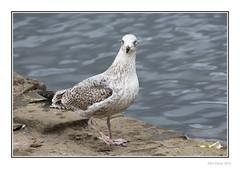 Glaucous Gull (?) (Seven_Wishes) Tags: bird water birds animal wildlife gull feathers hh waterfowl seabird northtyneside edoliver seagulll photoborder mardenquarry 7wishes canoneos5dmark3 newcastleupontynenortheast canonef100400f4556lisii 7wishesphotography