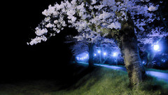 a bank lined with cherry trees (mstkeast) Tags: trees japan night cherry bank   cherryblossoms nightscene   tottori      hosshouji