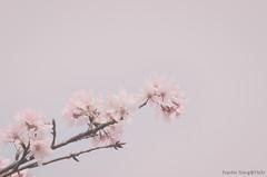 DSC_8501 (Frankie Tseng ()) Tags: park pink flowers sunset sky bw flower silhouette photography 50mm blackwhite nikon outdoor flash sunny tokina cherryblossoms fade nikkor 70300mm tamron 90mm f8 1224mm f28 f4 1870mm bwphotography blackwhitephotography portraitphotography outdoorportrait sb900 yongnuo outdoorportraitphotography yn568
