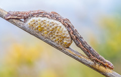 Parasitized caterpillar (Sebastin J.L) Tags: macro animal canon insect naturallight lepidoptera caterpillar tamron tamron90mm insecto macrophotography oruga parasitized 1000d fieldstack