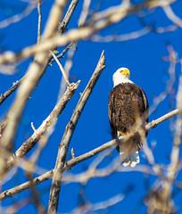 IMG_4136 (Scott Martin - Photographer) Tags: canada calgary baldeagle alberta inglewoodbirdsanctuary