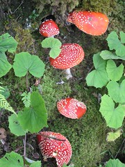 Mushrooms bad (thobern1) Tags: amanitamuscaria fliegenpilz lespaccots